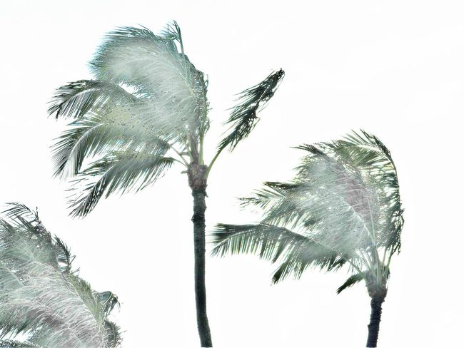 Coconut Coconut Trees Day Dry Nature No People Outdoors Palm Tree Palm Trees Tropical Plants Wind