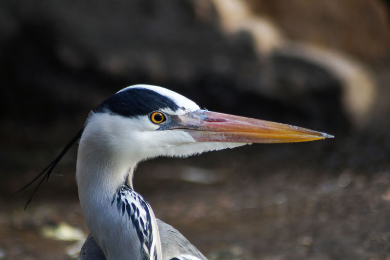 heron Animal Themes Animal Bird Animals In The Wild One Animal Animal Wildlife Vertebrate Focus On Foreground Close-up Beak No People Animal Body Part Nature Day Animal Head  Heron Looking Side View Water Bird Outdoors Profile View Animal Eye