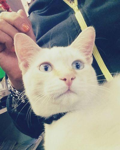 Gatto Orazio Amore Whitecat
