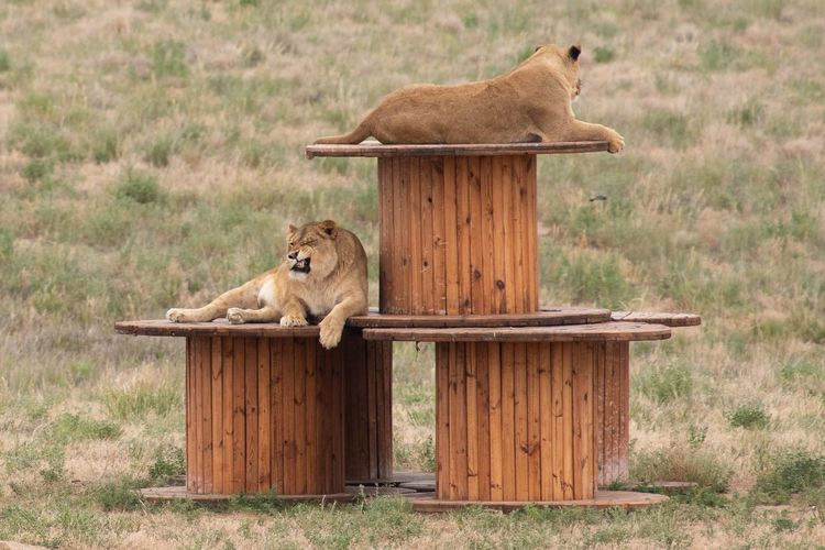 Mammal Animal Themes Animal Animal Wildlife Feline Vertebrate Lion - Feline Field Nature Cat