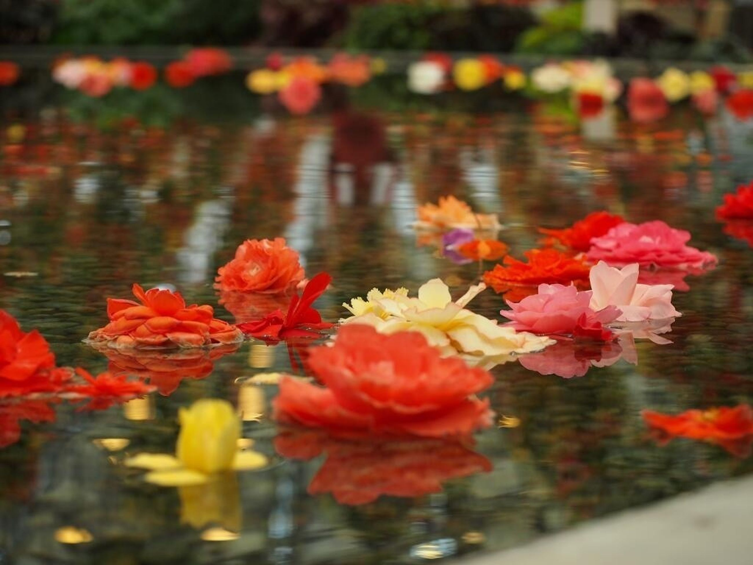 flower, water, red, petal, fragility, freshness, beauty in nature, reflection, nature, focus on foreground, flower head, growth, pond, blooming, pink color, plant, lake, close-up, floating on water, outdoors