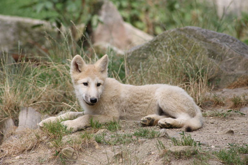 Animal Themes Animals In The Wild Animal Wildlife Nature Outdoors Beauty In Nature Wolfs  LoveNature
