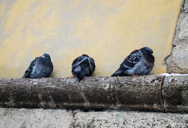 pidgeons Animals In The Wild Bird Black Color City Pidgeons No People Pidgeonlife Pidgeons Resting Birds Tired Pidgeons