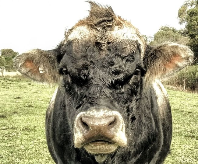 Laddie Bull Laddie Jersey Jerseybull Storyteller Lowtones Hairy  Sofluffy Lovesascratch Bored Rural Scenes Portrait Looking At Camera Tree Close-up Sky Cattle Livestock