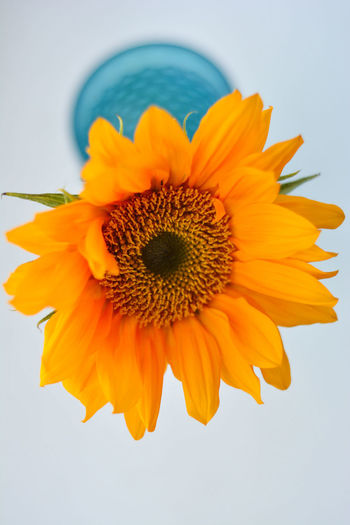 Beauty In Nature Blue Vase And Flowers Close-up Flower Flower Head Flowering Plant Fragility Freshness Growth Indoors  Inflorescence Nature No People Petal Plant Pollen Studio Shot Sunflower Vulnerability  White Background Yellow