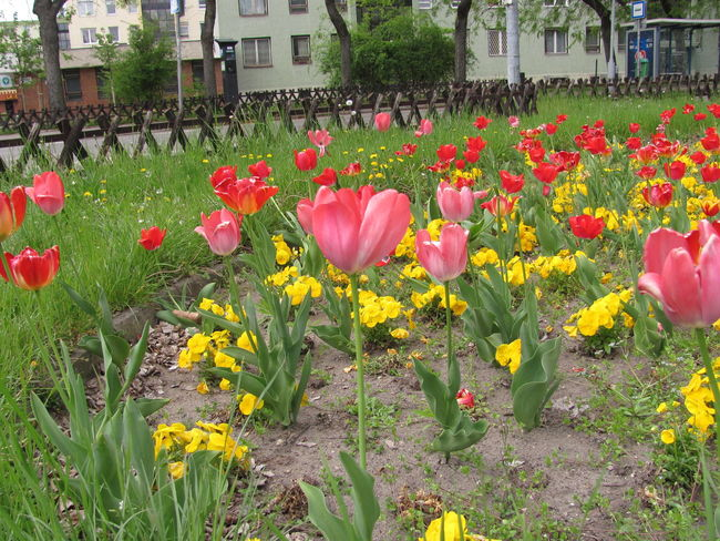Beauty In Nature Blooming Building Exterior Close-up Crocus Day Flower Flower Head Flowerbed Fragility Freshness Grass Growth Nature No People Outdoors Petal Pink Color Plant Red Tulip Yellow
