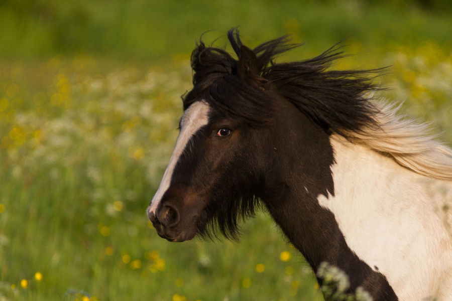 running black and white horse Running Horse Animal Animal Head  Animal Themes Animal Wildlife Close-up Day Domestic Domestic Animals Field Focus On Foreground Herbivorous Horse Land Livestock Mammal Nature No People One Animal Outdoors Pets Plant Profile View Vertebrate