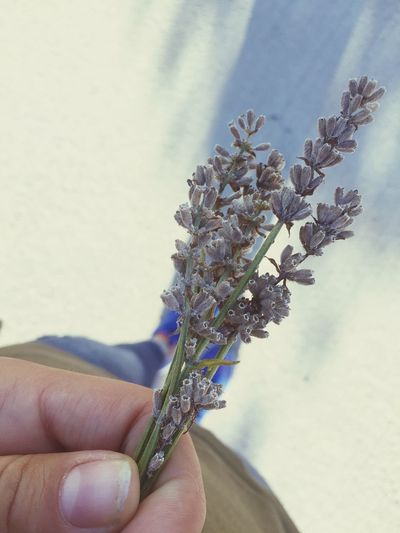 Levandula Nature Love This Time