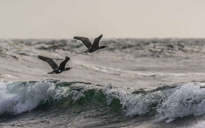 Up we go Motion Animals In The Wild Animal Themes Sea Flying Water Bird Wave Nature Sky Spread Wings Mid-air No People Splashing Outdoors Horizon Over Water Great Cormorant