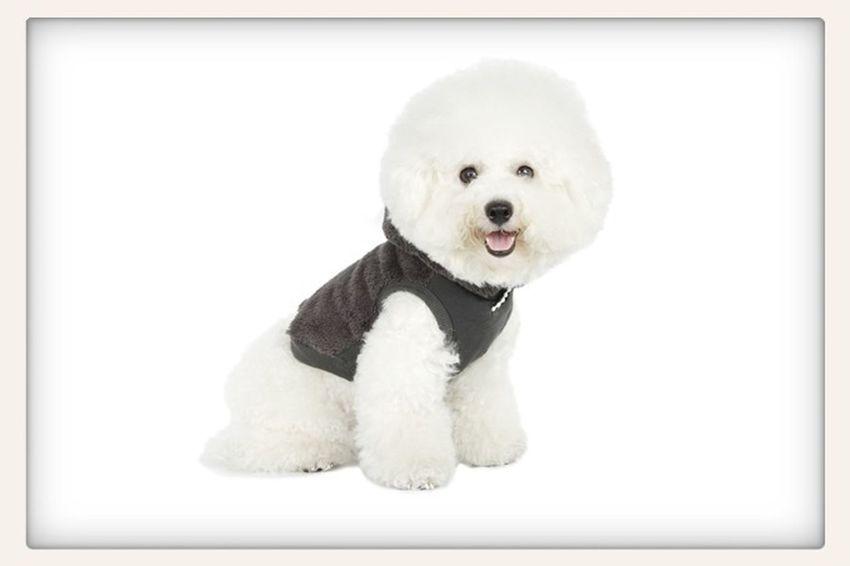 Ilovemydog Bichonfrise New Clothes Hi!! I'm Ichigo :D!!