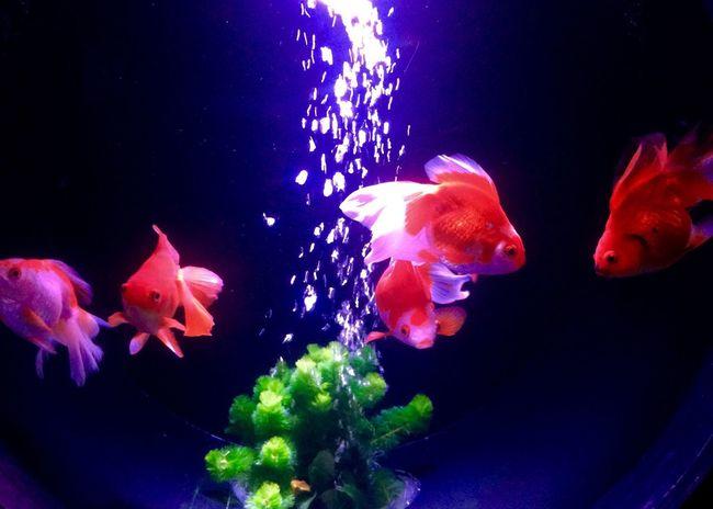 ひらひら〜♪ゆらゆら〜♪ Hello World 金魚 Goldfish Iphonegallery EyeEm Gallery Japan Japanese  Enjoying Life Hope https://youtu.be/hRFveQCp4ig Peace