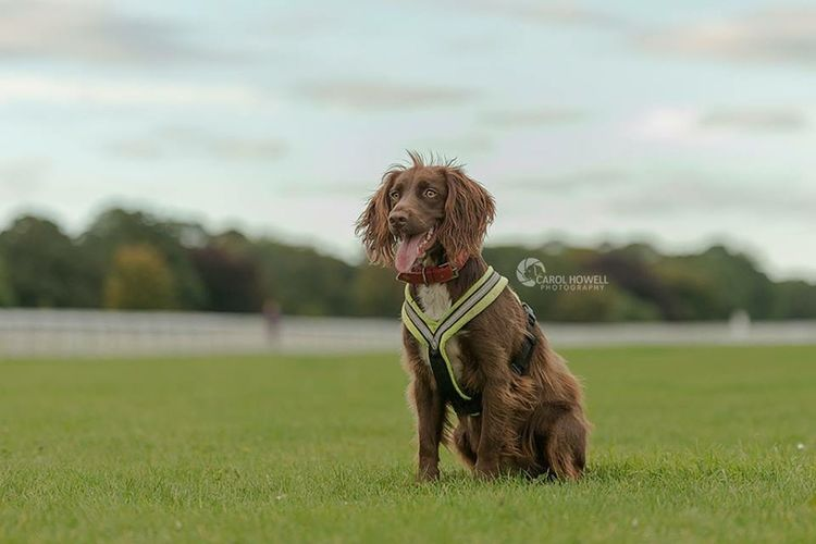 Another sweetie whose name I can't remember 😕 A beautiful red cocker spaniel English Cocker Spaniel Dog Pet Photography  Wolfe Does UK Pets Corner I Love Dogs Uk Nikon
