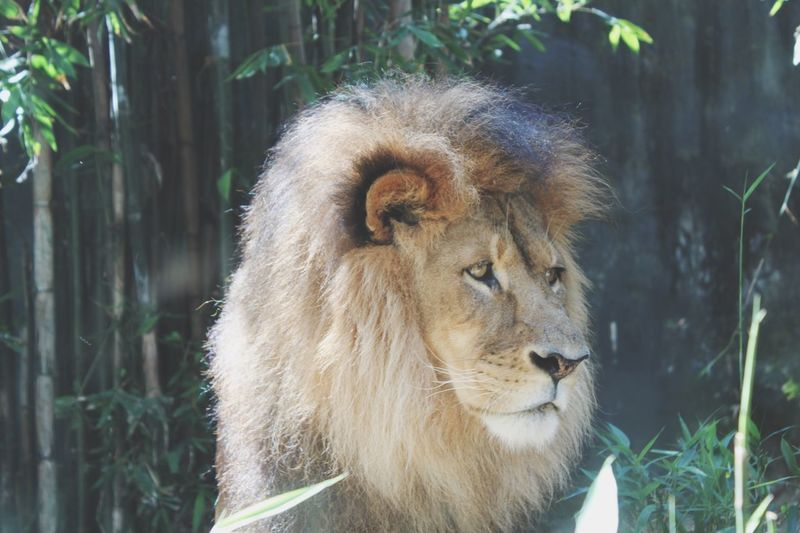 Que pasa Mufasa ? Lion Animals Beast Need This Pet Taking Photos Day Out Beautiful Photography Australia