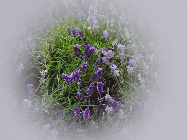 Lavender mist Lavender Perfume Garden Garden Photography Purple Flower Lavendula Plants Summer New Plants And Flowers Vignette