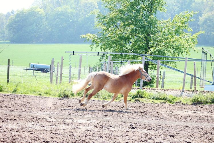 Running Horse Haflinger Horse Pony Tree Horse Animal Themes Sky Paddock