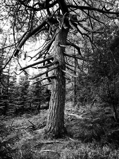 OLD TWISTER Huaweip20pro Monochrome Colour Black & White Old Tree Tree Photography Creativity Tree Branch Tree Trunk Forest Growing WoodLand Woods Bark Dead Tree Fallen Tree Bare Tree