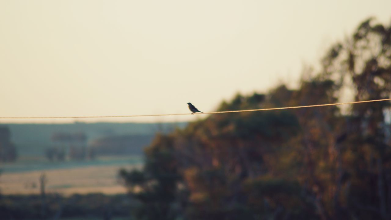 sky, bird, animals in the wild, animal themes, animal wildlife, animal, vertebrate, one animal, nature, clear sky, perching, focus on foreground, no people, tree, cable, plant, day, outdoors, tranquility, copy space, electricity