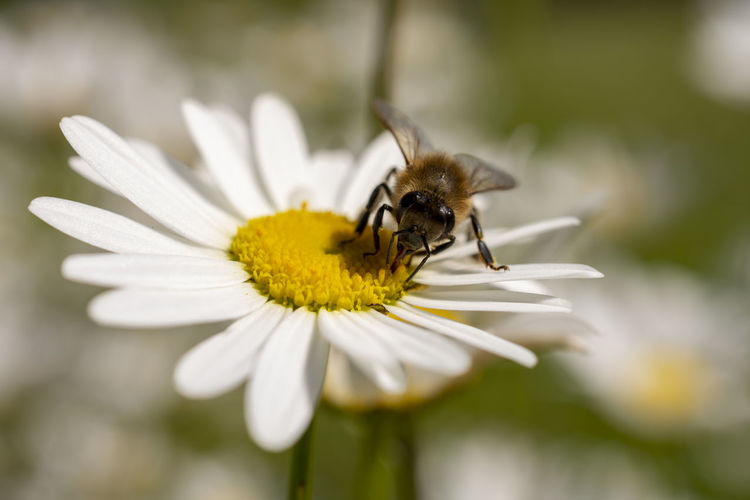 Daisy Bee Flower Flowering Plant One Animal Animal Themes Animals In The Wild Petal Fragility Animal Insect Plant Animal Wildlife Flower Head Invertebrate Beauty In Nature Vulnerability  Growth Freshness Close-up Inflorescence Pollination Pollen No People