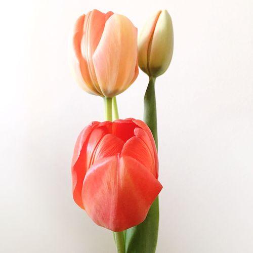 Tulips,