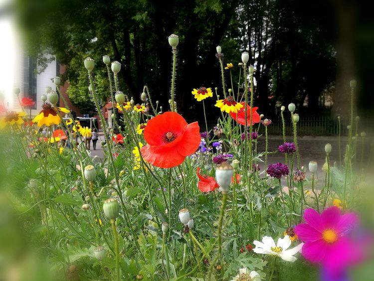 Poppy perfection. Colour in a city centre carriageway Flower Poppy Flowers Verges