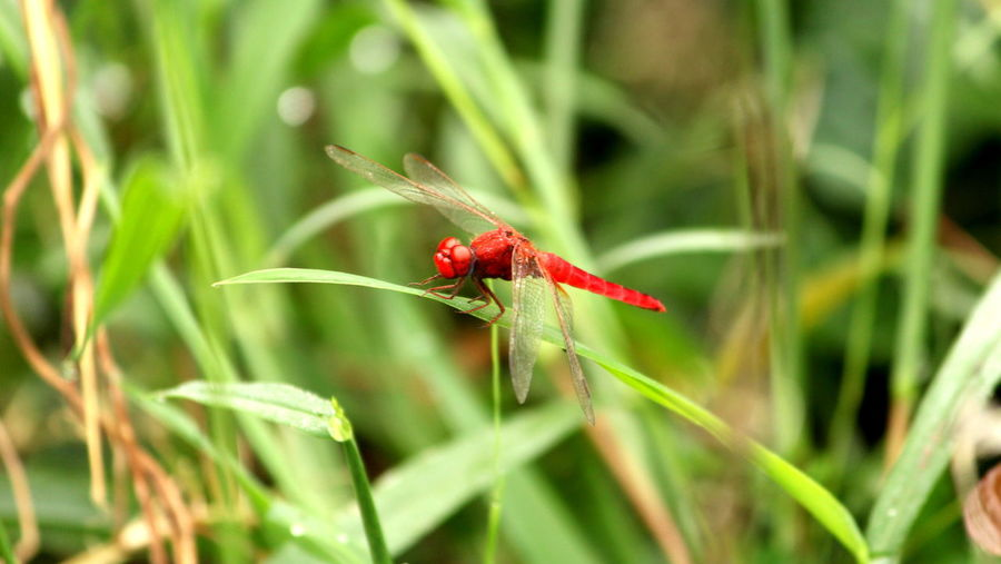 Red Damselfly Animal Themes Animals In The Wild Close-up Habitatt Insect New Life Plant Red Red Damselfly Selective Focus Vibrant Color