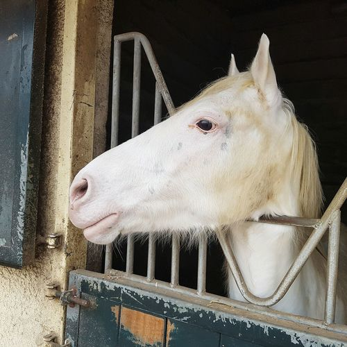 Animal Themes One Animal Close-up Metal Cage Domestic Animals Mammal Indoors  Pets Horse White Horse Portrait No People
