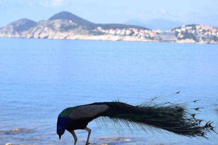 Bird Peacock One Animal Animals In The Wild Animal Wildlife Water Sea Dubrovnik Travel