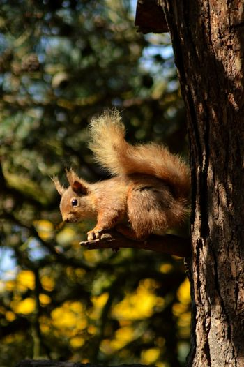 Redsquirrel Treetops Lossiemouth Scotland So Cute :) Mischievous Fluffytail Squirrel Closeup Wildlife Photography Nature