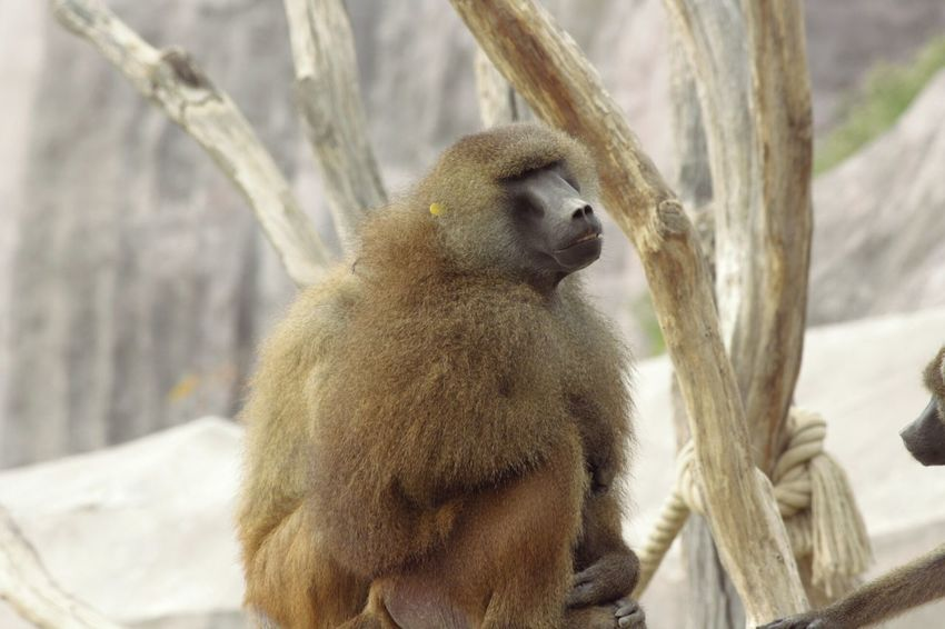 Parczoologique Monkey Singe Animals Zoodevincennes Photography Frenchie Taking Photos Wild Tree