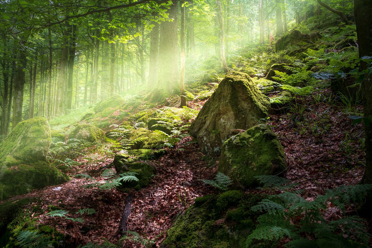 Eine Lichtung im Sonnenlicht Beauty In Nature Day Foliage Forest Green Color Growth Land Lush Foliage Moss Nature No People Non-urban Scene Outdoors Plant Rainforest Scenics - Nature Tranquil Scene Tranquility Tree Tree Trunk Trunk WoodLand