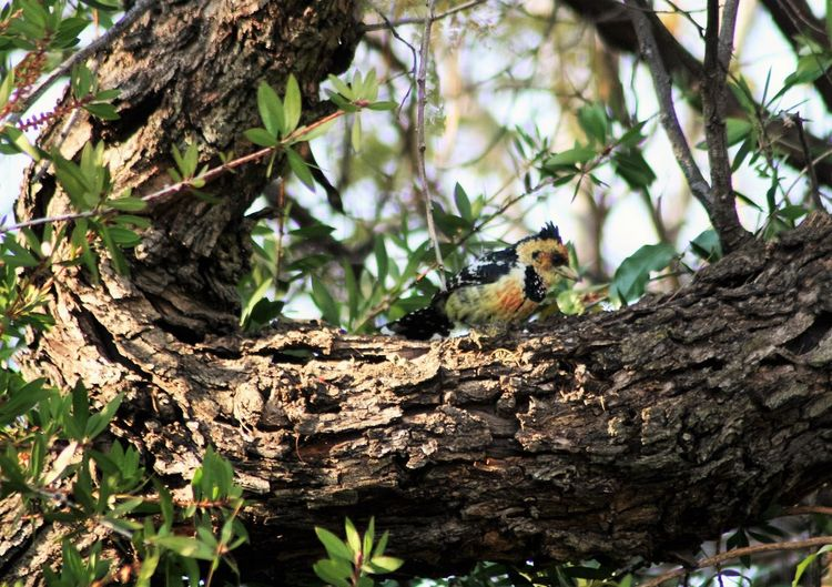 crested Barbet kuifkophoutkapper Beauty In Nature Birds Of EyeEm  Birdwatching Crested Barbet Nature Outdoors South Africa Tree Tree Trunk Wildlife