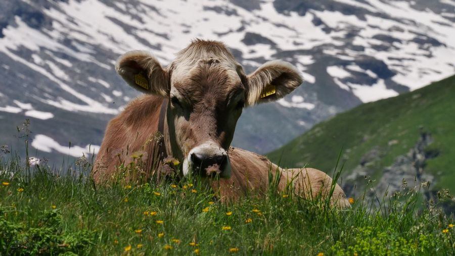 Chilling cow in