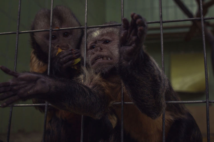Close-up of monkeys in cage