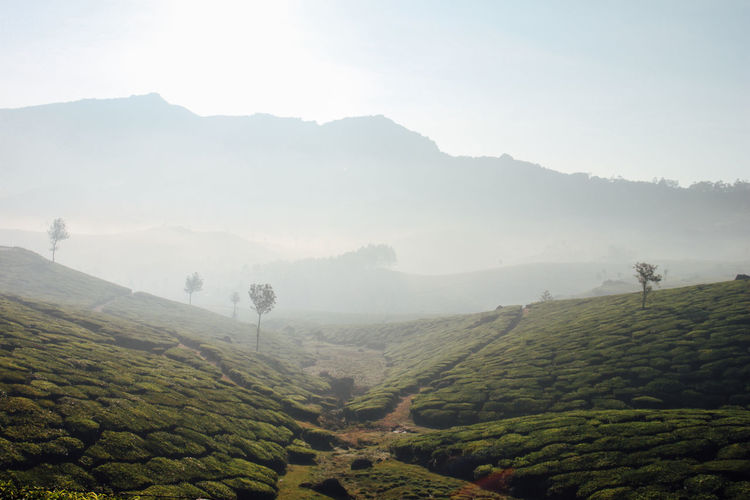 Beautiful tea plantation with morning fog in Munnar, Kerala (India). Munnar Trekking Agriculture Beauty In Nature Day Field Fog Hazy  Idyllic Landscape Mountain Mountain Range Nature No People Outdoors Rural Scene Scenics Sky Sunrise Sunset Tea Crop Tea Plantation  Tranquil Scene Tranquility Tree EyeEmNewHere