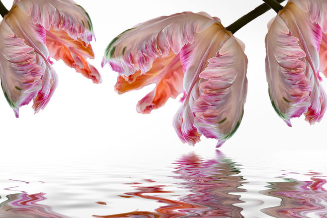Mirror Image Orange Parrot Tulips Peach Peach Parrot Tulips Petals Reflection Relaxing Spring Flowers Tulips Water Water Reflections