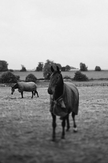 Animal Animal Themes Beauty In Nature Black And White Photography Cool Day Field Herbivorous Horses Landscape Mammal Medium Group Of Animals Nature Outdoors Selective Focus Young Animal Zoology Tilt-shift