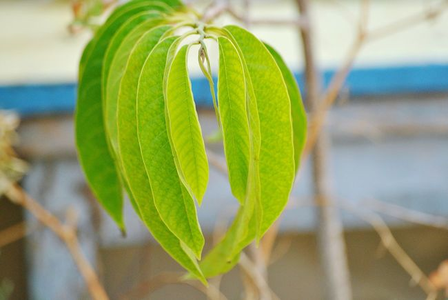 Green Color Leaf Focus On Foreground Nature Growth Plant Close-up No People Beauty In Nature Day Fragility Outdoors Freshness Fruit Tree Bullocks Heart Annona Reticulate Ramphal Fruit Tree Ramphal Freshness Beauty In Nature Tree Growth Nature Green Color