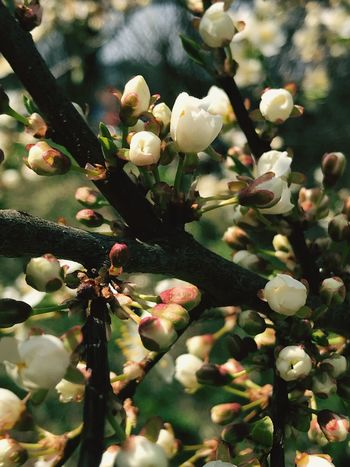 Apple Tree Apple EyeEm Nature Lover EyeEmNewHere Plant Growth Flower Flowering Plant Close-up Beauty In Nature Fragility Freshness Focus On Foreground Tree Vulnerability  No People Day Branch Nature Blossom Springtime Selective Focus Bud Botany