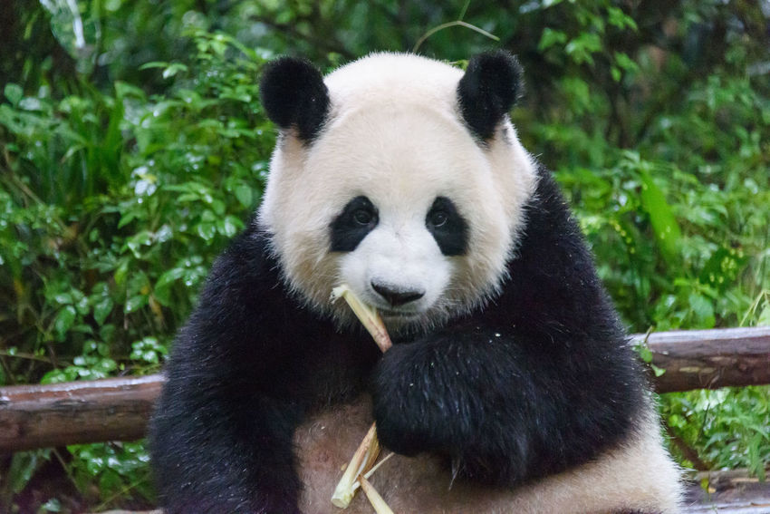 Animal Animal Themes Animal Wildlife Animals In The Wild Panda - Animal One Animal Vertebrate Mammal Nature Bamboo - Plant No People Day Panda Chengdu