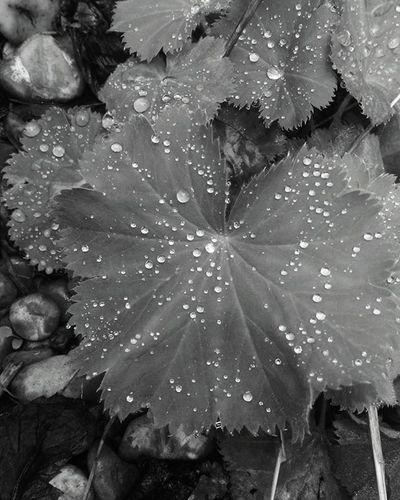 Blacknwhite Waterdroplet Plant Uk RainyDays PhonePhotography HTC Htcone Goodquality Creative Nocolour Stones Nofocus  Filter