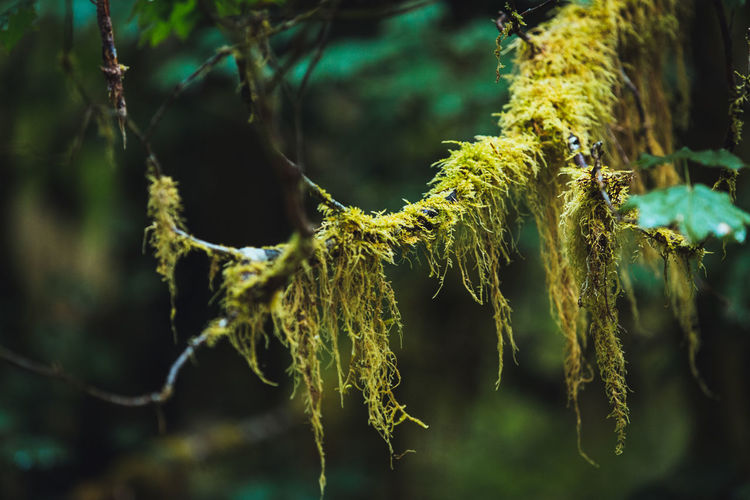 Hanging moss over a branch at Hoh Rain Forest, Olympic National Park, USA Hoh Rainforest North America Olympic National Park Olympic Peninsula Pacific Northwest  USA Washington State Close-up Green Color Hanging Moss Nature No People Outdoors Rainforest Selective Focus Tranquility Tree