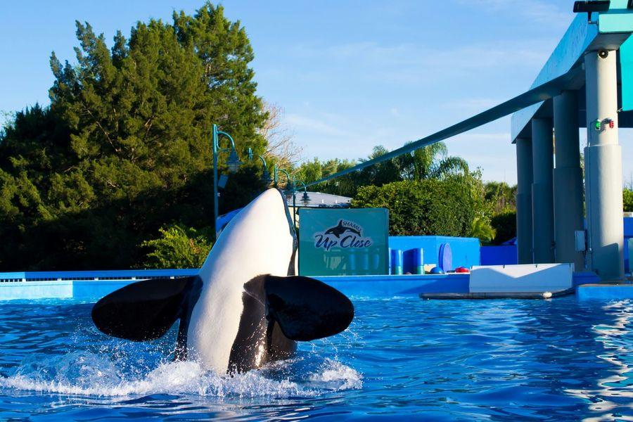 Killer Whale Sea World Orlando Florida USA Beautiful Animal BIG Whale Traning