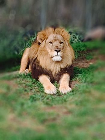 Who's A Handsome Boy Then? Tadaa Community Lion Lionking Kingofthejungle Bigcat
