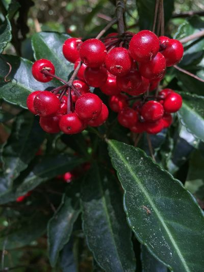 Red berries Red Berries Dark Red  Dark Green Dark Green Leaves Nature's Diversities