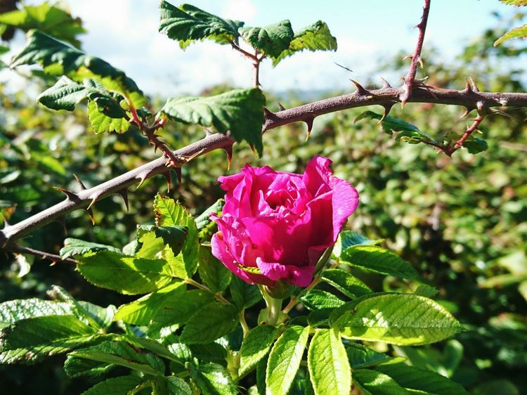 Every Rose Has It's Thorn Wild Rose Flower Growth Freshness Petal Flower Head Pink Color Single Flower Blooming Botany Sky Outdoors Wirral Cloud - Sky Wirralcountrypark Wirral Peninsula Cloud In Bloom