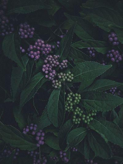 紫式部(Japanese Beautyberry) VSCO Vscocam ゆ2017f&n ゆ京系列 ゆ2017JapanPics ゆf at 下京区 Kyoto, Japan
