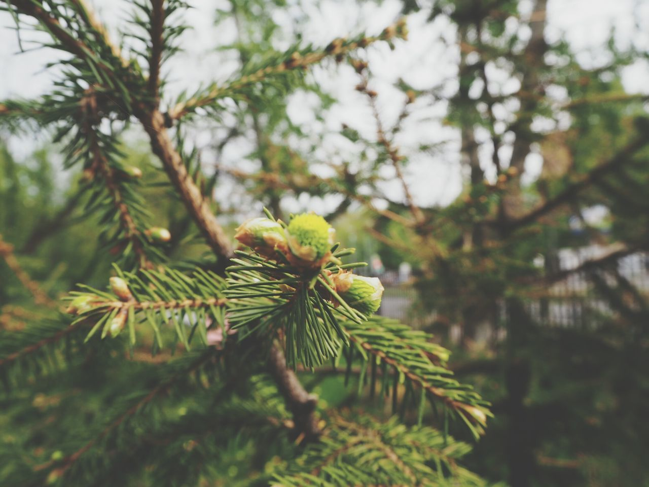 nature, green color, growth, focus on foreground, tree, beauty in nature, day, no people, pine tree, outdoors, close-up, branch, freshness