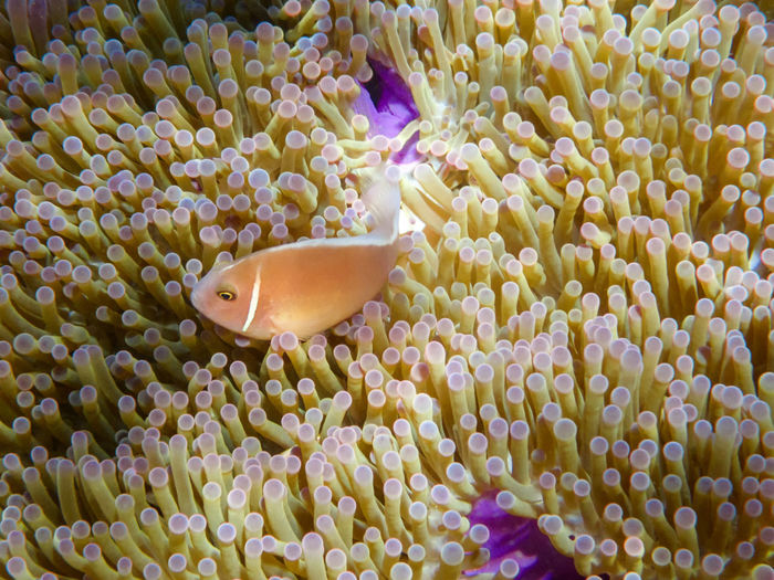 Pink anemonefish in anemone, Koh Tao and Koh Nang Yuan island, Thailand Animal Animal Themes Animal Wildlife Animals In The Wild Beauty In Nature Close-up Clown Fish Coral Fish Invertebrate Marine Nature No People One Animal Sea Sea Life Swimming UnderSea Underwater Water