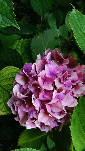 pink hydrangea green foliage backdrop Nature Backgrounds Botanical Species Colors Gardens Backdrops Outdoors Gardens Outdoor Flowering Plants Flower Head Flower Water Leaf Petal Pink Color Purple Close-up Plant Hydrangea Flowering Plant Plant Part Botanical Garden In Bloom Plant Life Blooming Botany