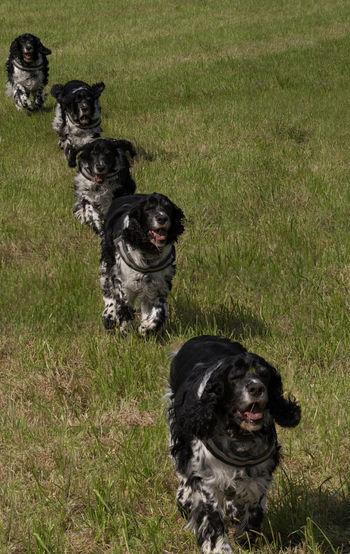Multiple Dog English Springer Spaniel Multiplied Photo Montage Animal Themes Day Dog Domestic Animals Field Grass Mammal Nature No People One Animal Outdoors Pet Pets Photoshopped Running Dog Togetherness